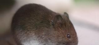 Hepatitis-C-Impfung: Die Maus steht Modell