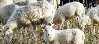 Schafe und Ziege sollen als -Landschaftsgärtner- wieder die Arbeit aufnehmen