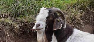 Ziegen sind nicht blöd