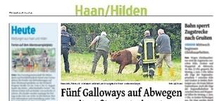 Galloways auf Abwegen