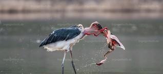 Marabu kills Flamingo von Ingo Gerlach