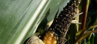 Trockenheit lässt Maisbauern verzweifeln