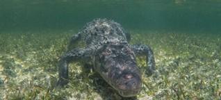 Gastbeitrag: Auge in Auge mit den Krokodilen von Chinchorro in Mexiko
