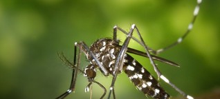 Sterile Männchen und klebrige Fallen – Wie Deutschland die Tigermücke bekämpft