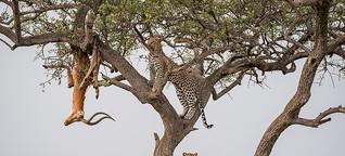 Leoparden: Vorratshaltung auf Raubkatzenart 2