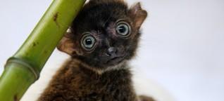 Primaten - Die Welt von Plumplori, Katta und Aye-Aye
