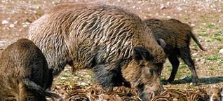 Wildschweine sorgen für Aufregung im Wohngebiet