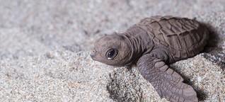 Wie ein Forschungsteam mit Fake-Eiern Schildkröten retten will