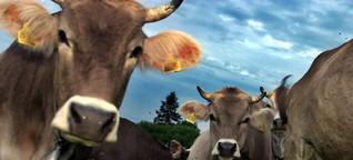 Muh: Zahl der Rindviecher im Landkreis steigt