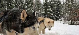Mit Hunden durch den Schnee: Huskys am Zug im Schwäbisch-Fränkischen Wald
