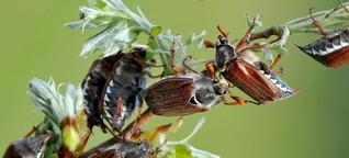 Insektensterben in Deutschland: Sieh mal, was da - noch - krabbelt