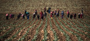 Syrian child refugees in Turkey work in fields for slave wages