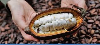 """Klimawandel: """"Genschere"""" soll Kakao retten"""
