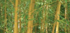 Bambus: Das grüne Gold