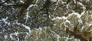 Crown Shyness - Wenn Bäume sich nicht berühren wollen