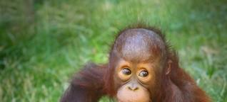 Erstaunliche Primaten: 10 Wahrheiten über Orang-Utans