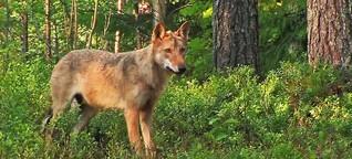 Quarks & Co: Der Weg des Wolfes