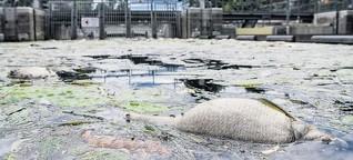 """""""So schlimm war es noch nie"""": Die Alster wird zum Fisch-Friedhof"""