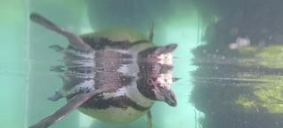 Meeresforschung : Schwerhörige Pinguine durch Unterwasser-Lärm? Gut zu wissen, BR, 6.7.19