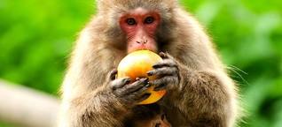 Mehr Stressforschung auf dem Affenberg