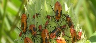 Insektenforschung - Die Vorlieben der Seidenpflanzen-Wanzen