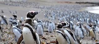 Wie gut hören Pinguine?