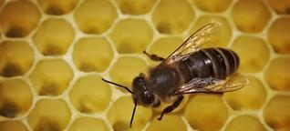 Imkerverein Gettorf: Wissenschaftlerin gibt Imkern nützliche Tipps - Varroamilbe im Fokus