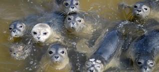 Seehunde an der Nordsee: Das Missverständnis mit den Heulern