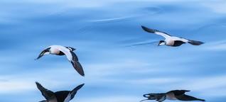 Zugvögel im Wattenmeer: Verhungert mit vollem Magen