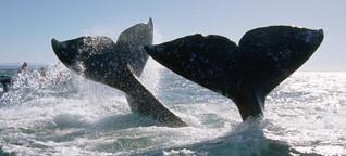 Vancouver Island: Grauwale vor Kanada läuten den Frühling ein - WELT