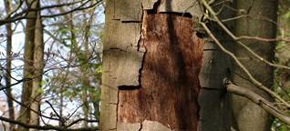 Extreme Dürre : Bäume verdursten in Franken / gut zu wissen, BR