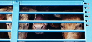Rinder aus SH landen trotz Verbots in Risiko-Staaten