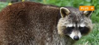 Waschbär, Känguru und Co. - Die mysteriösesten Tiere in Bayerns Wäldern