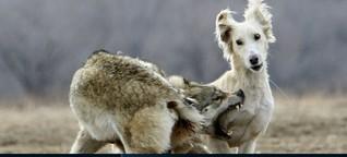 Böser Wolf? Lieber Hund?