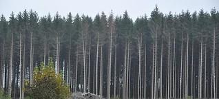 Diese Bäume werden in ein, zwei Jahren weg sein
