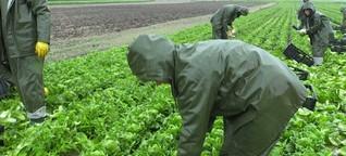 Abgezockt? Rumänische Erntehelfer auf deutschen Feldern (Artikel)