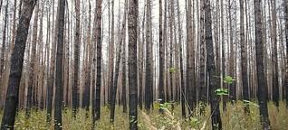 Der Wald nach dem Brand – Bepflanzen oder nicht?