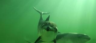 Schweinswal: Schutzgebiete in Nord- und Ostsee bieten zu wenig Walschutz!