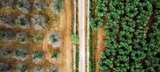 Die Olivenkrise, Teil 2: «Der Keim des Todes»