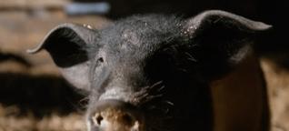 Warum bringen Schweine Glück?