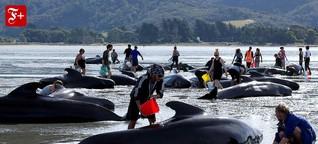Strandungen von Walen: Das größte Rätsel der Meere