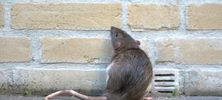 Rattenplage in Konstanz: Stadt appelliert an Bevölkerung
