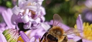 ✿Gartentagebuch im Herbst: Bienen und Astern