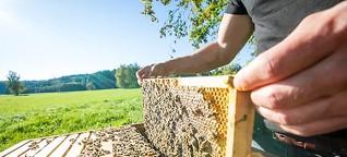 Honigbienen verdrängen Wildbienen: Was Bienenschützer wissen müssen